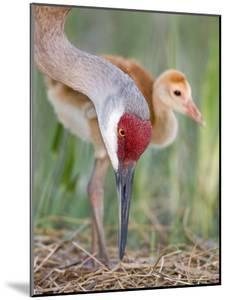 Close-up of Sandhill Crane and Chick at Nest, Indian Lake Estates, Florida, USA by Arthur Morris