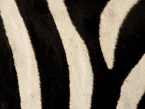 Close-up of Zebra Stripes, Masai Mara, Kenya by Arthur Morris