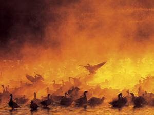 Flock of Snow Geese in Ground Fog, Bosque Del Apache National Wildlife Reserve, New Mexico, USA by Arthur Morris