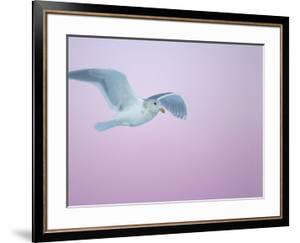 Glaucous-Winged Gull Flying Against Pre-Dawn Sky, Homer, Alaska, USA by Arthur Morris
