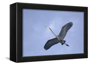 Great Blue Heron in Flight by Arthur Morris