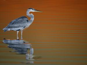 Great Blue Heron in Water at Sunset, Fort De Soto Park, St. Petersburg, Florida, USA by Arthur Morris.
