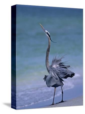 Great Blue Heron Threat Display, Ardea Herodias, North America