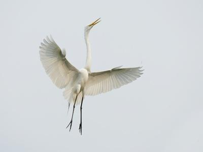 Great Egret Leaping