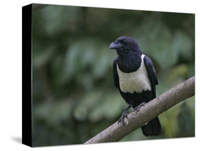 Indian Pied Crow, Corvus Albus, Kenya, Africa