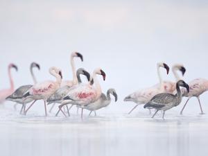 Lesser Flamingoes in Fog by Arthur Morris