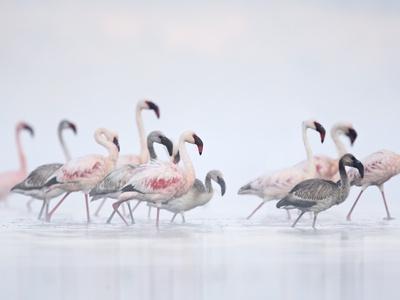 Lesser Flamingoes in Fog