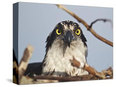 Osprey in the Nest (Pandion Haliaetus), Florida, USA
