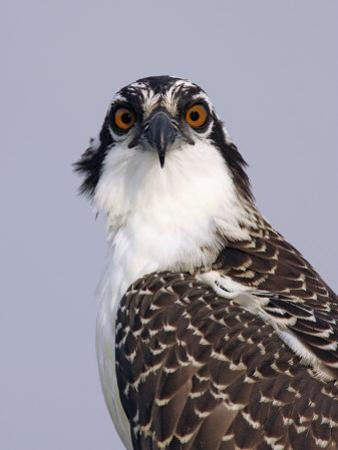 Osprey (Pandion Haliaetus), North America