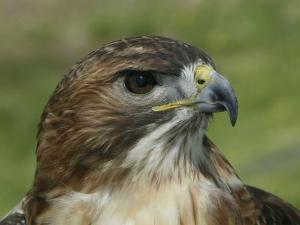 Red-Tailed Hawk, Buteo Jamaicensis, North America by Arthur Morris