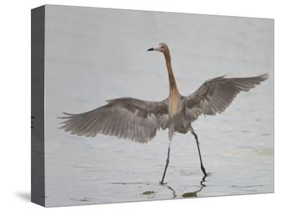 Reddish Egret Dancing Behavior, Egretta Rufescens, Florida, USA