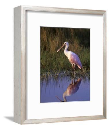 Roseate Spoonbill with its Reflection in the Marsh Pond, Ajaia Ajaja, Florida, USA