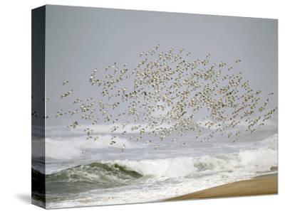 Sanderling (Calidris Alba) Flock in Flight over Ocean Waves, Long Island, New York, USA