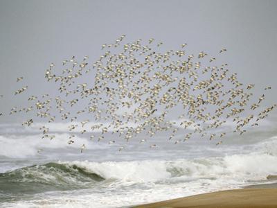 Sanderling (Calidris Alba) Flock in Flight over Ocean Waves, Long Island, New York, USA by Arthur Morris