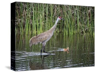 Sandhill Crane Adult with Swimming Chick (Grus Canadensis), Florida, USA