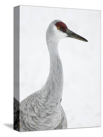 Sandhill Crane Head, Grus Canadensis, North America