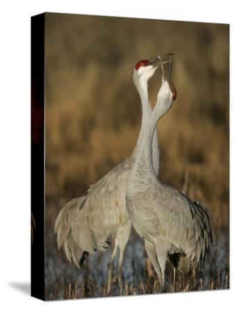 Sandhill Cranes Courtship Calling and Display