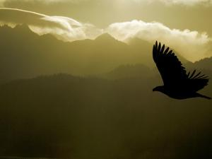 Silhouette of Bald Eagle Flying Against Mountains and Sky, Homer, Alaska, USA by Arthur Morris