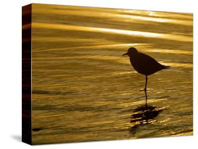Silhouette of Black-Bellied Plover on One Leg in Beach Water, La Jolla Shores, California, USA