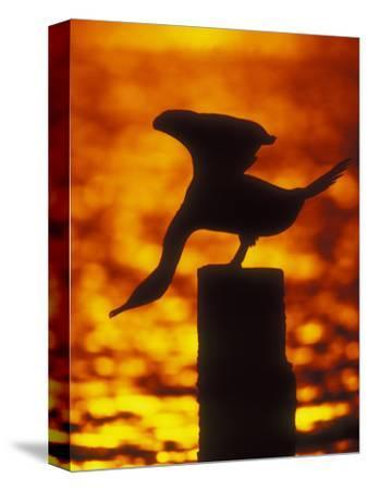 Silhouette of Double Crested Cormorant on Pile at Sunset, Jamaica Bay Wildlife Refuge, New York