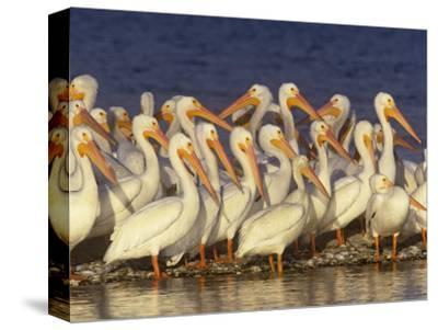 White Pelican Group, Pelecanus Erythrorhynchos, Florida, USA