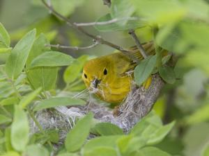 Yellow Warbler Male Building Nest,  Pt. Pelee National Park, Ontario, Canada by Arthur Morris