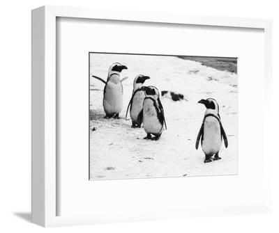 Penguins at London Zoo 1970