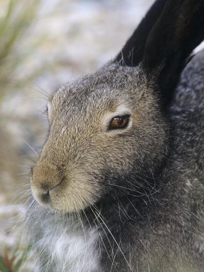 Artic Hare (lepus Articus) in Summer, Churchill Manitoba, Canada-Don Johnston-Photographic Print