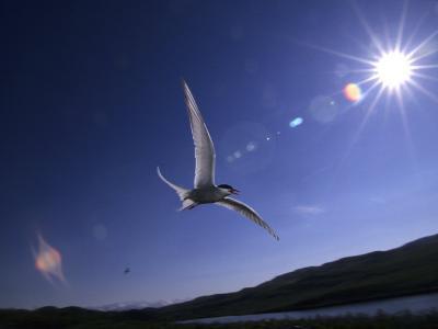 Artic Tern over Alaskan Tundra, Alaska, United States-Michael S^ Quinton-Photographic Print