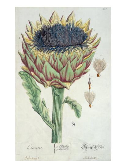 Artichoke, from 'Herbarium Blackwellianum', 1757-Elizabeth Blackwell-Giclee Print