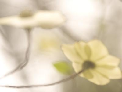 Artistic Shot of Flowers of the Pacific Dogwood Tree in Spring-Phil Schermeister-Photographic Print