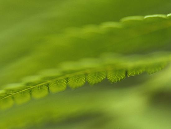 Artistic View of King Fern Fronds in a Forest Understorey-Jason Edwards-Photographic Print