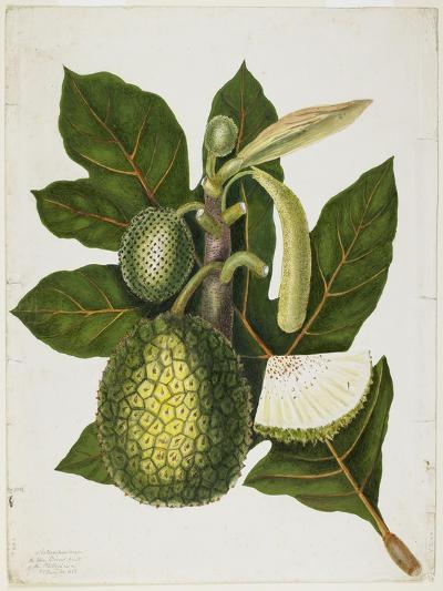 Artocarpus Incisa (The True Bread-Fruit/ of the Phillipines), December 1866-Priscilla Susan Bury-Giclee Print