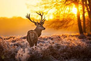 Red Deer in Morning Sun. by arturasker