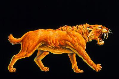 Artwork of a Sabre-toothed Cat (Smilodon Sp.)-Joe Tucciarone-Photographic Print