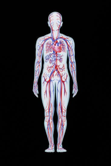 Artwork of Human Blood Circulation-John Bavosi-Photographic Print
