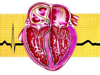 Artwork of Sectioned Heart with Healthy ECG Trace-John Bavosi-Photographic Print