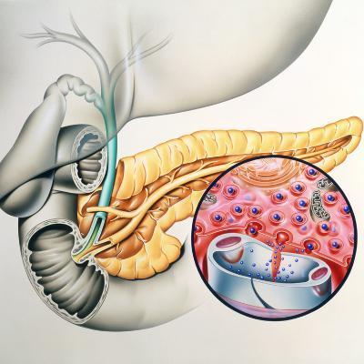 Artwork of the Pancreas Showing Insulin Production-John Bavosi-Photographic Print