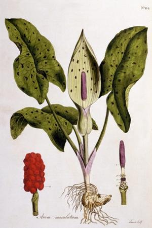 Arum Maculatum, Plate 114 from 'Flora Londiniensis' by William Curtis, Published 1775