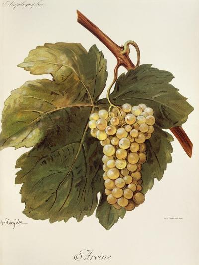 Arvine Grape-A. Kreyder-Giclee Print