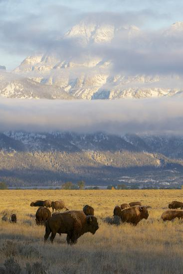 As the Clouds Clear Off the Grand Tetons, a Herd of Bison Graze in a Large Meadow-Barrett Hedges-Photographic Print