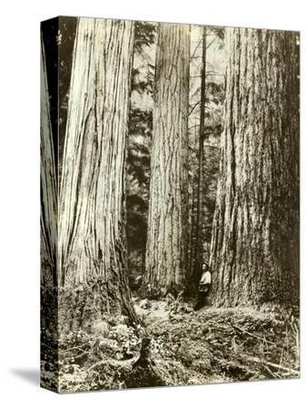 Cedar on Left, Douglas Fir on Right, Undated