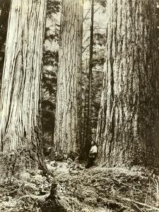 Cedar on Left, Douglas Fir on Right, Undated by Asahel Curtis