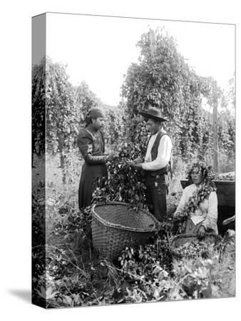 Native American Hop Pickers, 1909