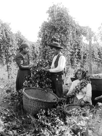 Native American Hop Pickers, 1909