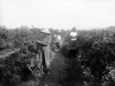 Puyallup, Blackberries, 1916