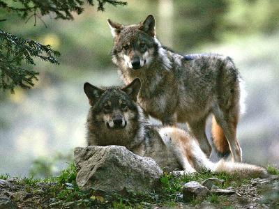 Asap Entertainment Plays with Wolves-Lionel Cironneau-Photographic Print