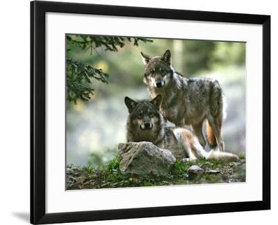 Asap Entertainment Plays with Wolves-Lionel Cironneau-Framed Photographic Print