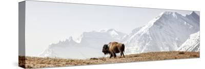 Buffalo (American Bison) Walks along Grassy Slope