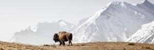Buffalo (American Bison) Walks along Grassy Slope by Ascent Xmedia